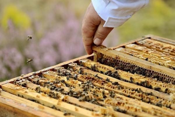 pszczoły Kluczewo