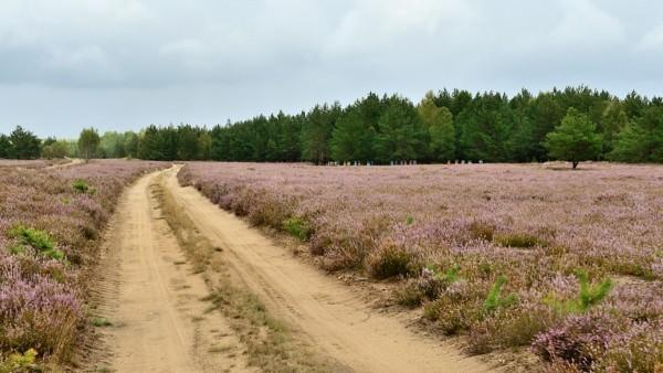 wrzosowe pole w Kluczewie